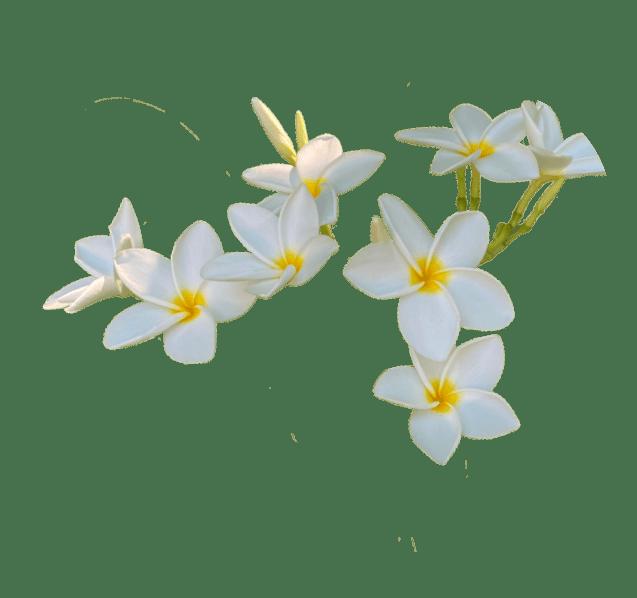 White Plumera