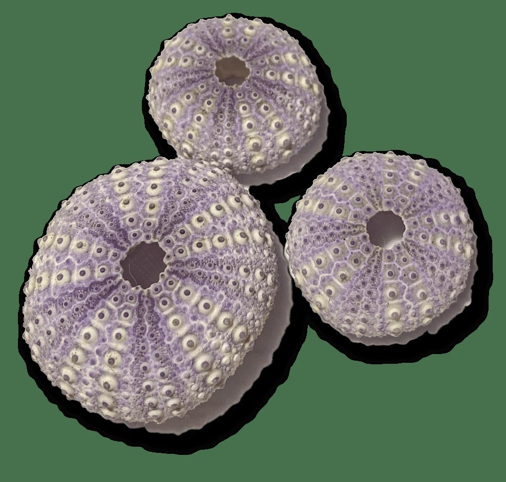 purple shells