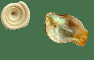 group of shells found in Montezuma