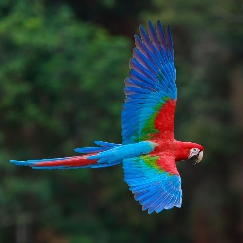 guacamaya roja volando
